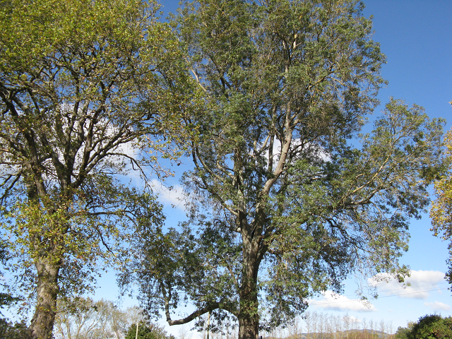 8. Narrow-leaved Ash, 43 Carlyle St. 640x480.png