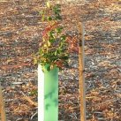 2015.11.26 Planted and rabbit-proofed. Cambridge Tree Trust